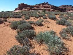 Semidesert Shallow Sand (Blackbrush)